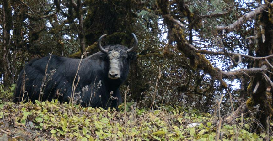 trek-nepal-pikey-peek-yack