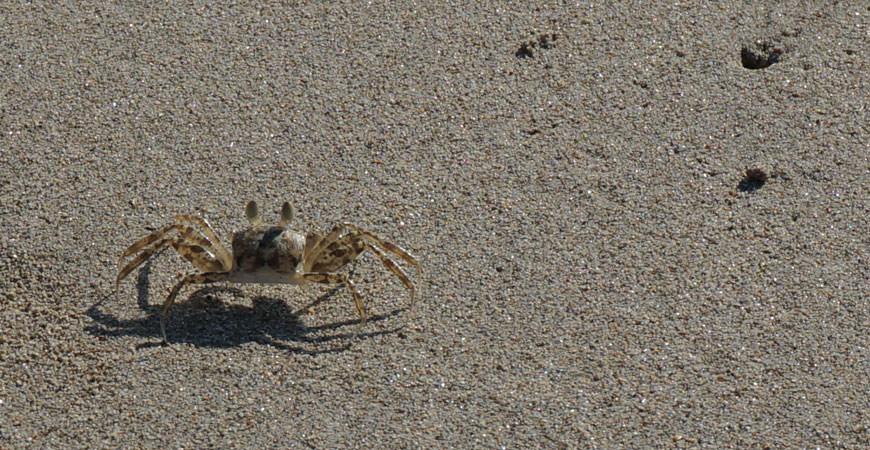 koh-lanta-plage-crabe