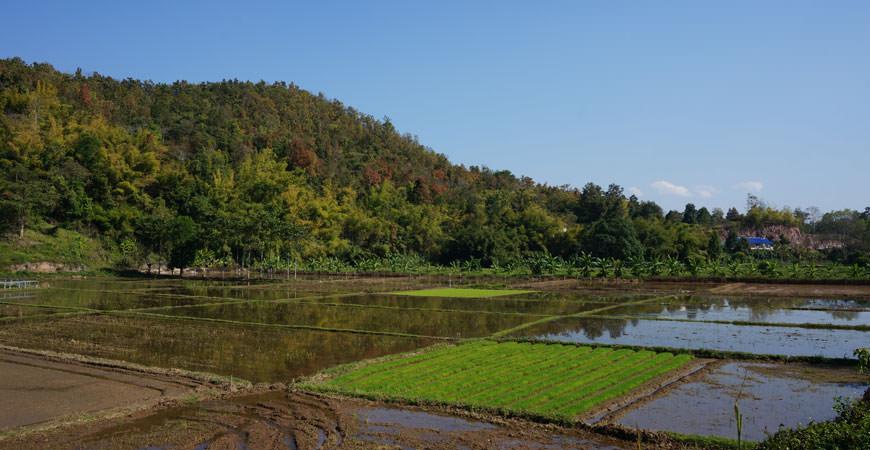 chiang-rai-nature-riziere