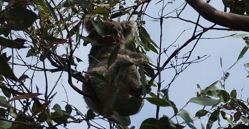 roadtrip-australie-kennett-river-koalas