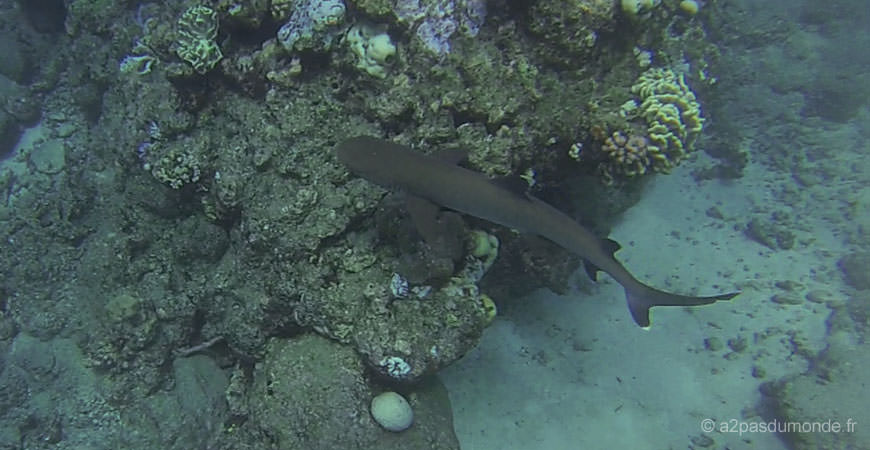 cairns-grande-barriere-corail-requin