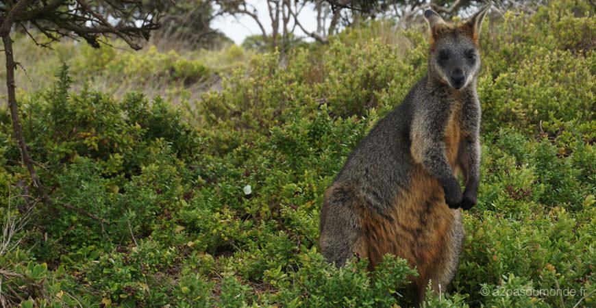 bilan-voyage-roadtrip-australie-nature-kangourou