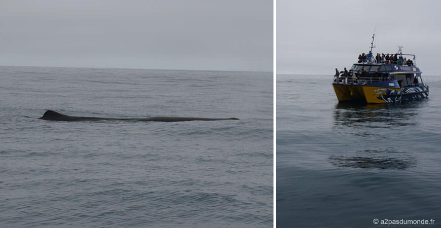 roadtrip-nouvelle-zelande-ile-sud-kaikoura-baleine-whale-