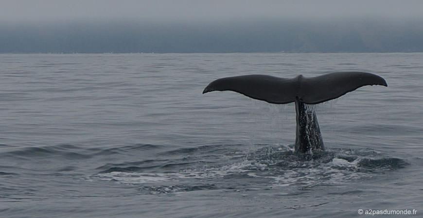 roadtrip-nouvelle-zelande-ile-sud-kaikoura-baleine-whale