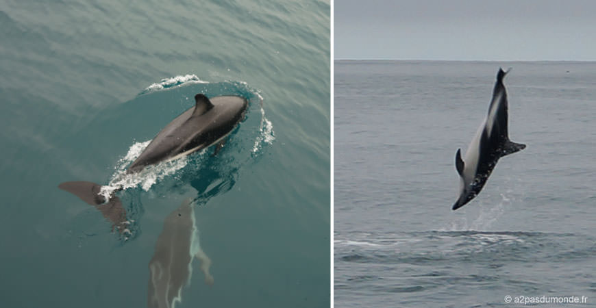 roadtrip-nouvelle-zelande-ile-sud-kaikoura-dauphin-dusky