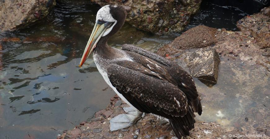 voyage-chili-arica-port-pelican