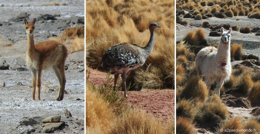 sud-lipez-animaux-lamas-vigogne-autruche