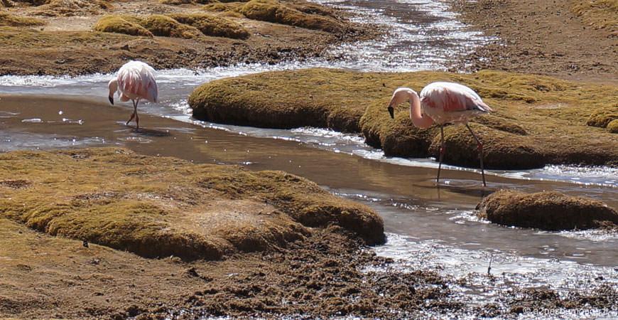 sud-lipez-laguna-hedionda-flamand-rose