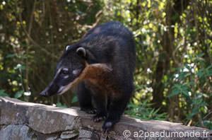 coatis-iguazu-chutes